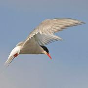 Arctic_Tern_180