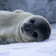 Baby_Weddell_Seal_180