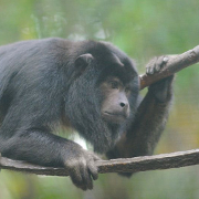 Black_Howler_Monkey_180